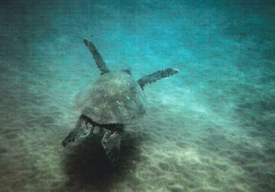Sea turtles tried to lose us in deep ocean waters during much slower swimming adventures