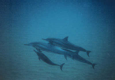 Shiome and Calf, Maui, Hawaii 1999